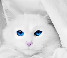 blue,cat,eye,white-7fa2fab088177f9b2037f8a42ebc7e77_h