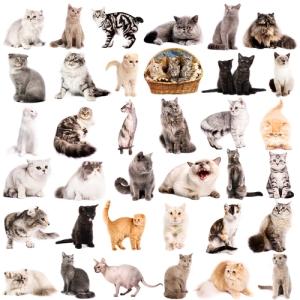 racas de gatos