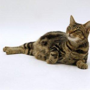 pregnant-cat[1]