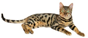 Brown_spotted_tabby_bengal_cat